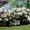 Rhododendrons felizes