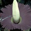 """Um exemplar da """"flor cadáver"""""""