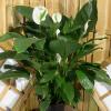 Um spathiphyllum vigoroso e cheio de flores