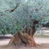 Identificada uma oliveira com 627 anos em Montsià