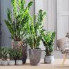 Zamioculcas, planta do mês de Setembro