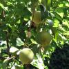 Árvores de fruto: chegou o momento de cuidar delas!
