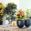 Codiaeum, planta do mês de Abril