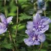 O hibisco, flores durante todo o verão