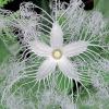A singular planta Trichosanthes Cucumerina