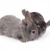 A convivência entre o coelho e a chinchila