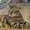 Um gato que faz lembrar um pequeno tigre
