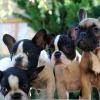O Bulldog francês, um cão muito cobiçado