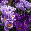 Plante agora a Crocus e desfrute do seu colorido no inverno