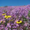 O espectacular deserto florido de Atacama