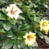 A vigorosa e enorme planta trepadora trombeta
