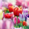 Prepare agora as suas tulipas