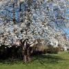 Promoção Frutosos: Cerejeiras