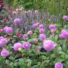 O impressionante jardim de dálias de Tuin Verheggen