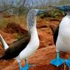 O singular pássaro Atobá de patas azuis