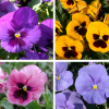 Amores-perfeitos ou Viola x Wittrockiana