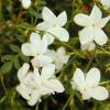 Jasmim real ou Jasminum grandiflorum