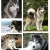 Cães: Malamute do Alaska