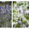 Plantas aromáticas: a Lavanda
