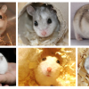 O hamster russo