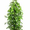 Ficus danielle e Cupressus wilma com o Cartão Cliente