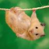 Como tornar o seu hamster mais feliz