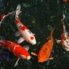 Um peixe Koi saudável é um peixe bonito
