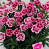 A Dianthus Pink Kisses