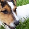 A raça de cão Jack Russell Terrier