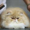 O gato persa: conselhos de higiene para um pêlo suave e brilhante