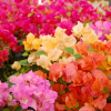 As Buganvílias: a espetacular floração e intrépida planta trepadeira