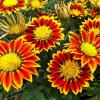 Encha a sua casa de cor com as bonitas flores gazânia