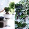 Ficus, a planta do mês