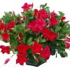 Dipladenia: sempre verde, cheia de flores e fácil de cultivar