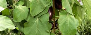 A beringela, um vegetal recomendado