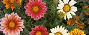 """Promoção """"Cartão Cliente"""" de Abril: Gazania hybrida Grandiflora"""