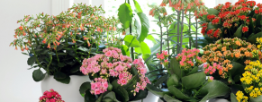 Kalanchoe, a planta do mês