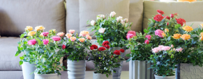 Roseira, a Planta do Mês de maio