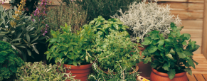 As ervas aromáticas