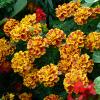 A flor das maravilhas