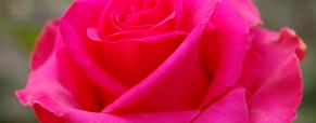 Sabia que as flores cheiram cada vez menos?
