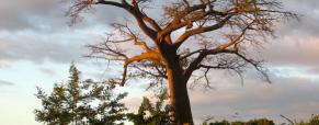 As lendas milenárias de Baobab