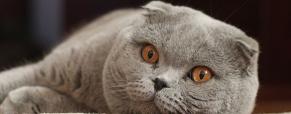 Scottish Fold, o gato das orelhas caídas