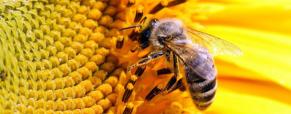 O papel crucial das abelhas na natureza