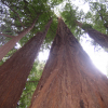 A enorme Sequoia Sempervirens