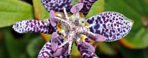 Tricyrtis, uma planta de belas e exóticas flores