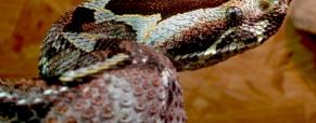 A venenosa cobra rinoceronte