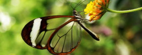 A fascinante borboleta transparente