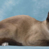 O Snowshoe, o gato dos pés brancos