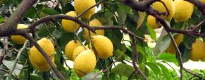 Promoção Frutosos: Limoeiro 4 Estações